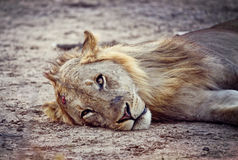 Wild lion portrait Royalty Free Stock Photos