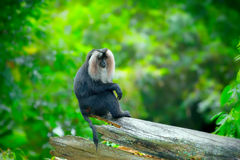 Wild Lion-tailed Macaque Stock Image