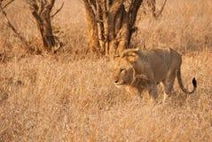 Wild lion Stock Photos