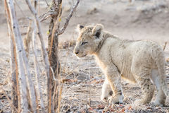 Wild Lion (Panthera leo) Cub Walking through Brush Royalty Free Stock Photography