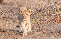 Wild Lion (Panthera leo) Cubs Walking through Grass Stock Image