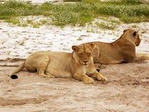 Wild lioness Arkivfoton