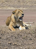 Wild lioness Royalty Free Stock Image