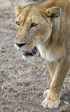 Wild lioness Royalty Free Stock Photos