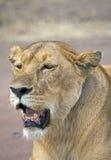 Wild lioness Stock Image