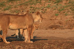 Wild lioness and cub royalty free stock photography