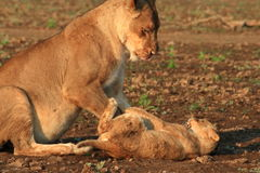 Wild lioness and cub playing Royalty Free Stock Photo