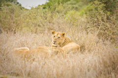 Wild lioness lying down in the bush , Kruger, South Africa Stock Image