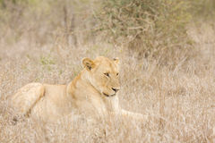 Wild lioness lying down in the bush , Kruger, South Africa Royalty Free Stock Image