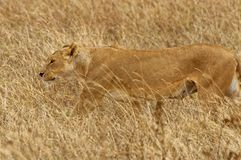 Wild lioness. Stalking her prey on a grassland in Africa Stock Images