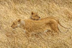 Wild lionesses Royalty Free Stock Photography