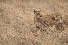 Wild lionesses Royalty Free Stock Photos