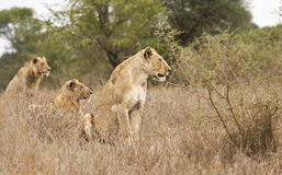 Wild lions, Kruger national park, SOUTH AFRICA Royalty Free Stock Photo