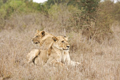 Wild lions, Kruger national park, SOUTH AFRICA Royalty Free Stock Images