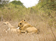 Wild lions lying in the bush , Kruger, South Africa Stock Photos