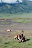 Wild lions in Ngorongoro National Park, Tanzania. Royalty Free Stock Photos