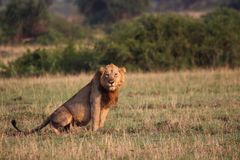 Wild lions in the Steppe of Africa Uganda. Namibia Royalty Free Stock Photo