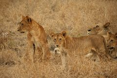 Wild lions in Tanzania Royalty Free Stock Image