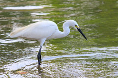 Wild little egret bird feeding in water pool use for animals and Stock Photo