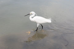 Wild little egret bird feeding in water pool use for animals and Stock Image