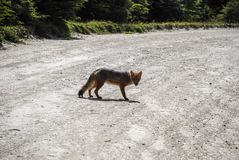 a wild little grey and red fox walking and looking at stock photography