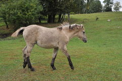 Wild Little Horse Royalty Free Stock Photography