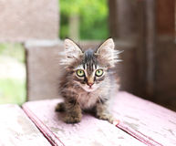 Wild little kitten crouched on the bench Royalty Free Stock Images