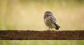 Wild little owl Stock Photography
