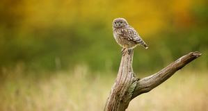 Wild little owl. A wild little owl sitting on an old branch in a meadow Stock Photos