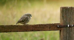 Wild little owl. A wild little owl sitting on an old fence Stock Photos