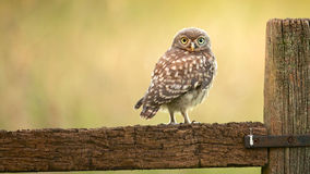 Wild little owl Royalty Free Stock Image