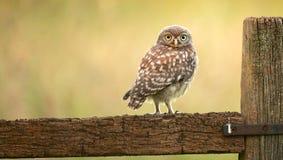 Wild little owl Royalty Free Stock Image