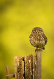 Wild little owl. A wild little owl sitting on an old gate post looking at the camera Royalty Free Stock Image