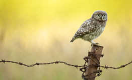 Wild little owl Stock Photography