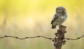 Wild little owl Stock Photos