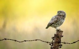 Wild little owl Royalty Free Stock Photos
