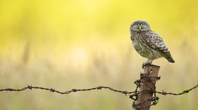 Wild little owl Stock Images