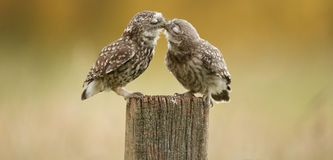 Wild little owls kissing Stock Image