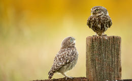 Wild little owls Royalty Free Stock Photo