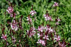 Little pink flowers on a Sunny summer day in a forest glade royalty free stock image