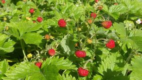 Wild little strawberry Stock Images