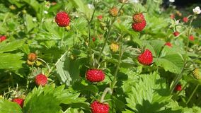 Wild little strawberry Royalty Free Stock Photography