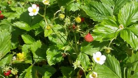 Wild little strawberry. In nature Red and Green Stock Photos