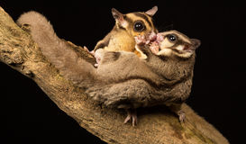 Wild little sugar gliders kissing Royalty Free Stock Photo