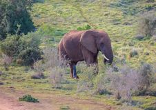 Wild living african Elephants at Addo Elephant Park in South Africa. In summer Royalty Free Stock Image