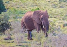 Wild living african Elephants at Addo Elephant Park in South Africa. In summer Stock Image