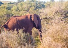 Wild living african Elephants at Addo Elephant Park in South Africa. In summer Royalty Free Stock Photos
