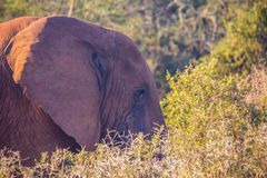Wild living african Elephants at Addo Elephant Park in South Africa. In summer Stock Photography
