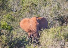 Wild living african Elephants at Addo Elephant Park in South Africa. In summer Stock Images