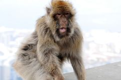 Wild living barbary macaque in Gibraltar royalty free stock photo